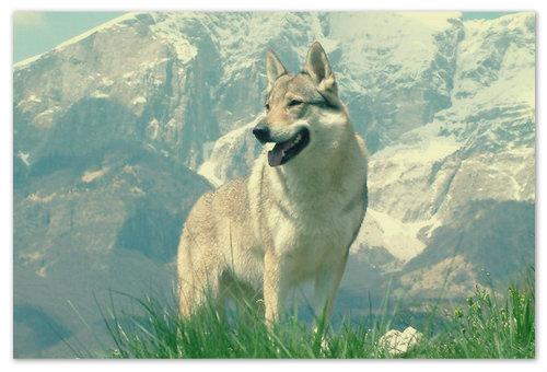 Чехословацкий волчак — надежный друг и защитник.