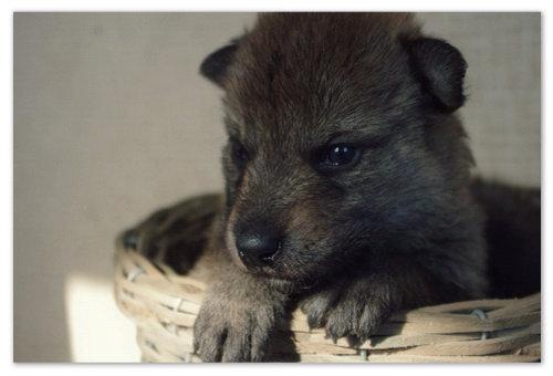 Фото щенка чехословацкого волчака.