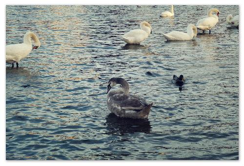 Покормить лебедей на Влтаве — самое ноябрьское дело, потому что становится холодновато, а туристов маловато, и птички голодные, и жалко их до слёз.