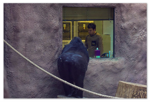 Горилла покупает билет в зоопарк.
