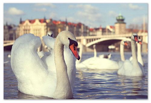 Лебеди на Влтаве.