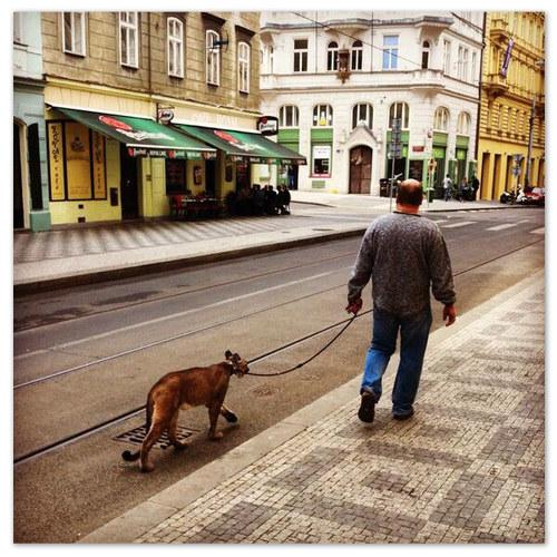 Рысь на поводке на улицах Праги.