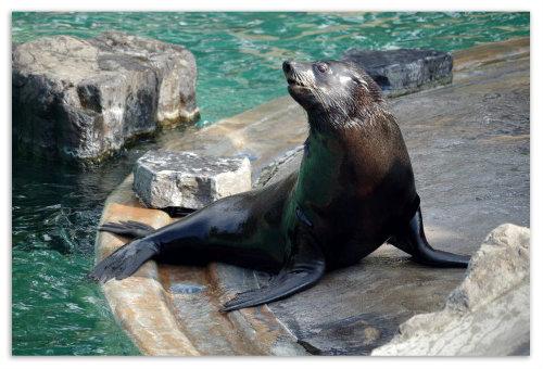 Тюлень у бассейна