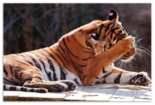 Тигр умывается