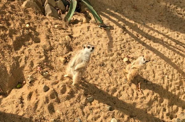 Сурикаты в зоопарке.