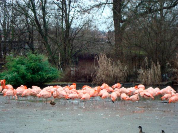 Фламинго в зоопарке.
